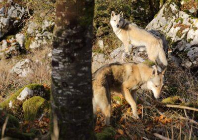Cervi e Lupi Foto di Lucio Tolar