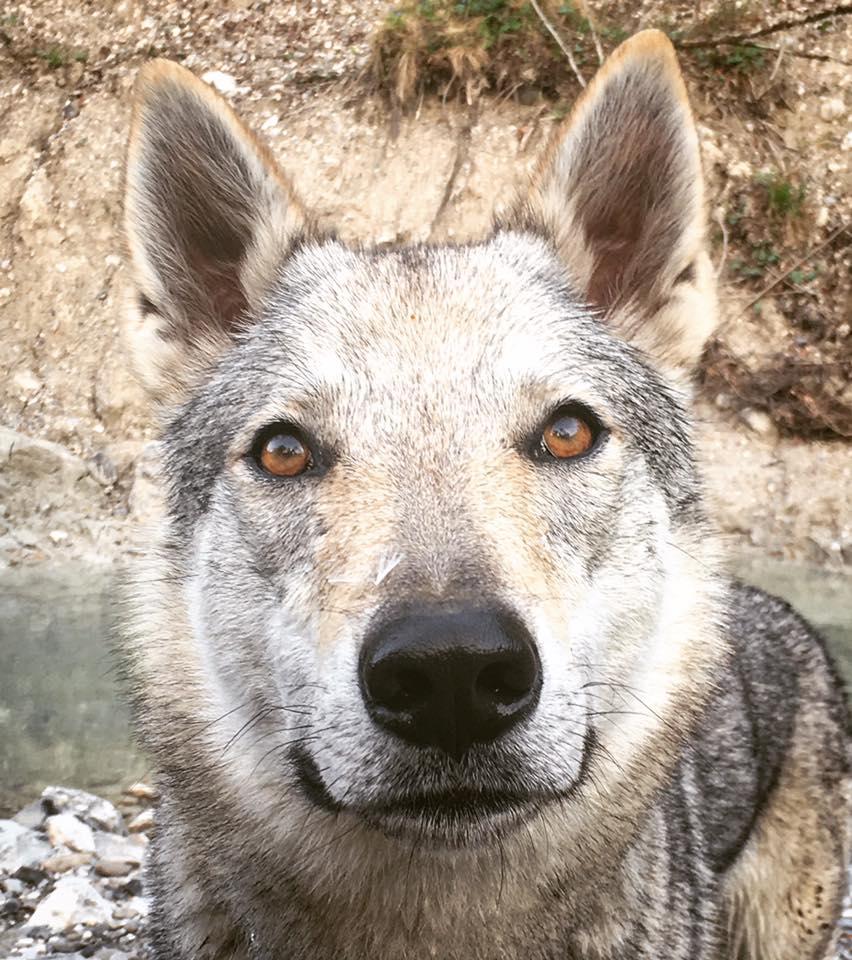 BodhiDharma La favola del lupo